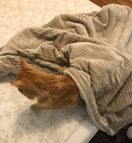 a kitty getting out from under a blanket